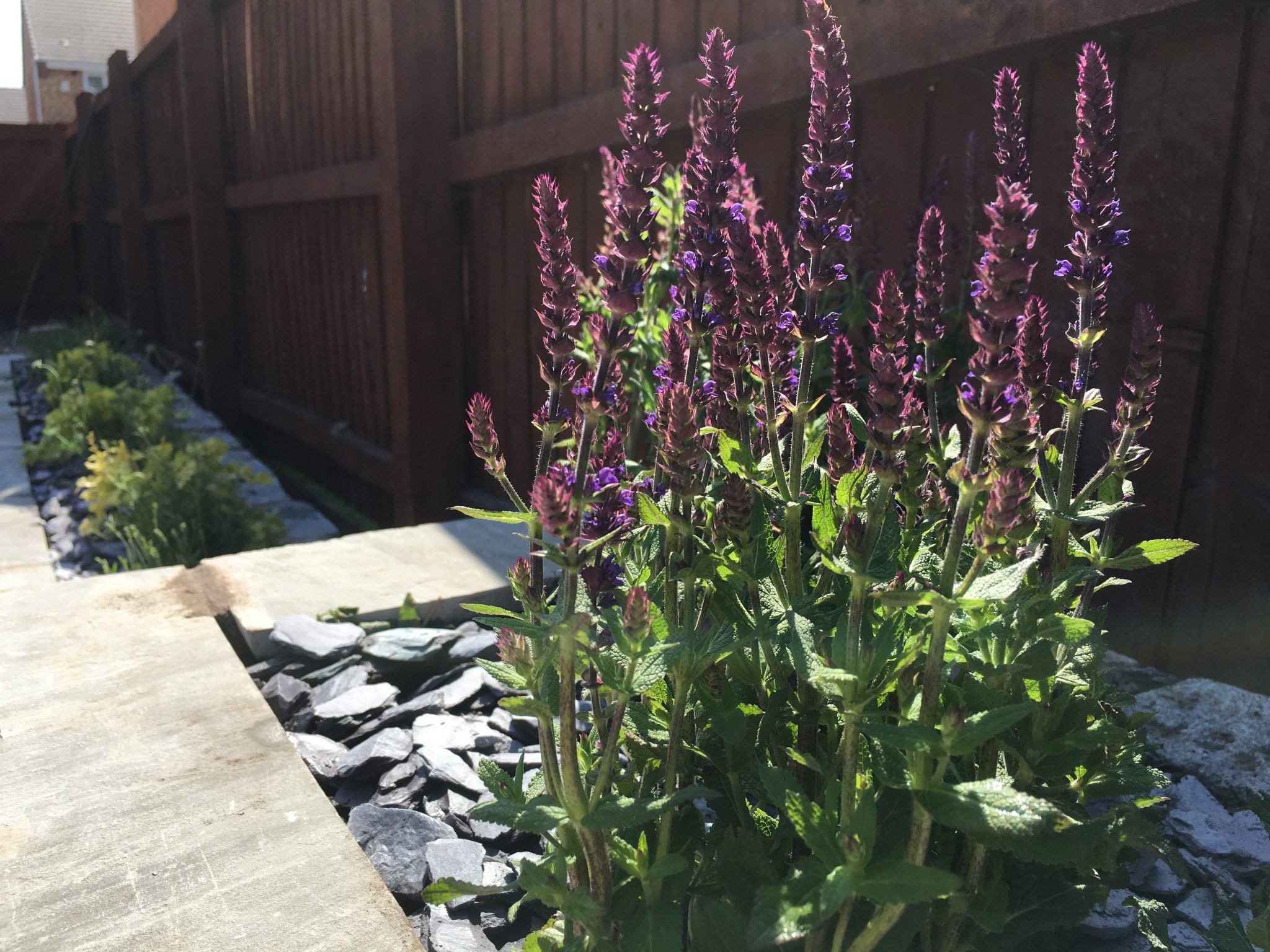 lavender in slate bed